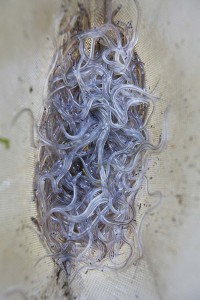 Elvers, also known as glass eels.