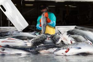 man handling raw fish